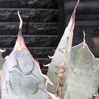 agave  titanota whiteice《大きめLL size》※現地球発根済株※美しく肉厚の葉にその名の通り白棘とのcontrastが堪らないbig株‼︎地植え可能‼︎