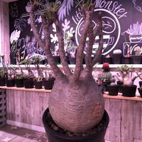 packypodium  gracilius《L  size》※現地球発根済み株‼︎  (限定1株)※全面A面の球体グラキ※mad black pot植え