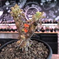 sarcocaulon herrei《M size》※今や希少且つ今後輸入厳しい南アフリカ物‼︎gapある白花大輪を咲かす冬型人気者‼︎V字樹形※mad  black  pot植え