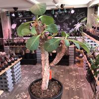 euphorbia neohumbertii《L size》※古株で木質化した大変希少な大株‼︎※mad black pot植え