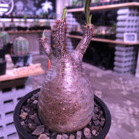 packypodium  gracilius《S size》※現地球発根済み株‼︎  (限定1株)※虜になってしまう球体チビキリス ※mad black pot植え
