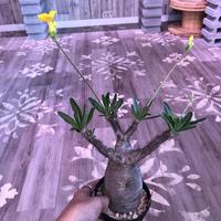 packypodium  gracilius《大きめ M size》※現地球株  発根済み株‼︎  (限定1株)