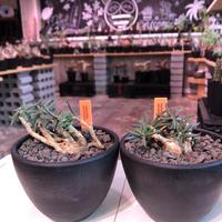 euphorbia cylindrifolia《M size》※塊根はぼってりと丸く、off-white肌に多肉質の葉を展開する上品な一株‼︎※mad black bowl pot植え※限定2株