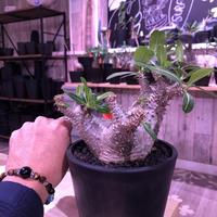 packypodium  horombense《M size》※現地球発根済み株‼︎ ※studsの様な荒い棘に、ギャップのある白肌美株‼︎※mad black pot植え