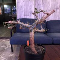 commiphora  africana《L size》灌木らしさ感じる独特の樹形 ※発根芽吹き済み株‼︎