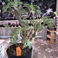 pelargonium   crithmifolium《L size》