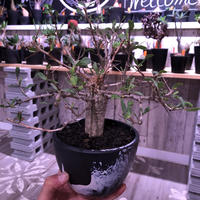 fouquieria    columnaris 観峰玉 《L size》mad  black  marble   bowl  pot  植え