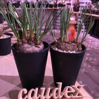 calibanus   hookeri《M size》希少・極美株  冬にも強く地植えも可能な強靭な株‼︎ 限定2株