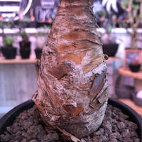 boophane   disticha  《M size》※ぼってり株元でバランス良き一株‼︎※mad black pot植え