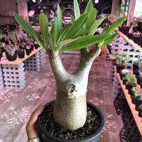 packypodium  inopinatum《M size》発根済み株‼︎  店主管理国内3年株