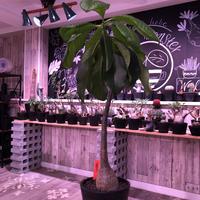 packypodium  decaryi 《 M  size》希少size‼︎ ※現地球発根済み株‼︎  ※丁度良いサイズ感にでっぷり&木質株‼︎※mad black pot植え