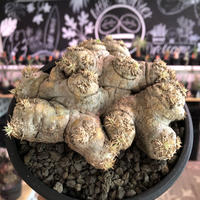 packypodium  brevicaule  恵比寿笑い《大きめM size》※現地球発根済株※個体差として荒い肌質のwild恵比寿‼︎良いsize感※mad black bowl pot植え