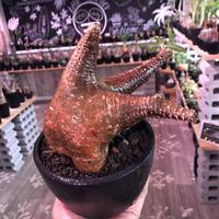 packypodium   makayense《L  size》驚愕赤肌‼︎※現地球発根済株‼︎ ※驚愕のwild赤肌マカイ‼︎※mad black bowl pot植え
