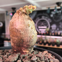 packypodium bispinosum 《S size》※現地球発根済株‼︎※ぼってりと球体美株で可愛さ半端なく頭頂部の傷が更にpoint up‼︎※mad black bowl pot植え