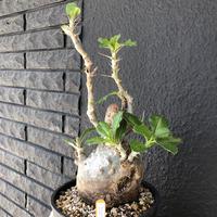 packypodium  saundersii《L size》