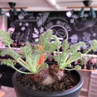 pelargonium  appendiclatum《M size》※店主個人株‼︎現地球発根済株※実生株しかまず出回る事のない激希少‼︎更にW-he'd‼︎🤩※mad black pot植え