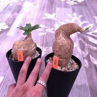 euphorbia    primulifolia  レア極球体or稀ビッグプリムリ《L size》