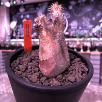 packypodium   enigmaticum《S  size》※現地球発根済※希少‼︎荒々しい肌を持つリトモン激推しのエニグマSサイズ株‼︎※ mad  black  bowl pot植え