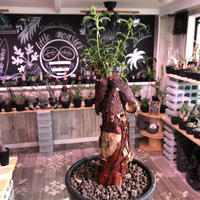 mestoklema   tuberosum《M  size》冬季も成長開花するインテリア性高き人気灌木caudex‼︎特化した赤肌  ※mad black pot植え《限定1株》
