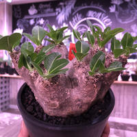 packypodium    roslatum var. eburneum(L size)※発根済み株‼︎ ワイルドで荒々しい装いなbalance良きエブレ‼︎ ※mad black pot植え