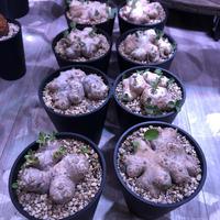 packypodium  brevicaule  恵比寿笑い《M  size》丁度良いsize感