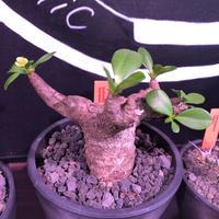 euphorbia  itremensis 《M size》個体差の激しい樹形とmad質な葉&表皮colorが魅力で堪らない人気者※mad black pot植え