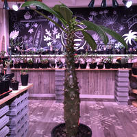 packypodium  baronii《LL size》※驚愕‼︎ヤバい極太bigバロニー‼︎※mad black pot植え✨驚愕‼︎1周年感謝株No.⑨