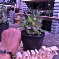 dorstenia   lavrani《M size》希少‼︎ 五本の良き枝振りbalance株 ※mad  black  pot植え