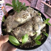 packypodium  brevicaule(恵比寿笑い)L size