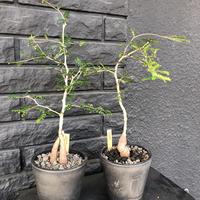 opercullicarya   decaryi《littmon seed 🌱4年株》mad black pot植え