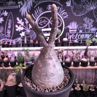 packypodium  gracilius《M  size》※現地球発根済株‼︎※まもなく芽吹き始める希少二頭枝株元ぼってり樹形グラキ‼︎※mad black pot植え