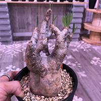 packypodium  inopinatum《M  size》※現地球  発根済み株