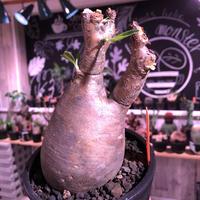 packypodium  gracilius《M  size》茶肌&希少二頭枝※現地球発根済株※かなり上品なcolor‼︎ぼってり樹形で良きサイズ感のためオススメ株※mad black pot植え