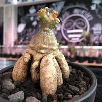 packypodium bispinosum 《大きめS size》※現地球発根済株‼︎※大変珍しい特化した7本足で反り立つ樹形のビスピ‼︎※mad black bowl pot植え