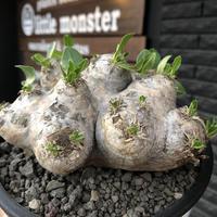 packypodium  brevicaule恵比寿笑い《大きめM size》※現地球発根済株※良きサイズ感の上、よりボコボコ感強き立体樹形‼︎今後流通少なくなります※mad black pot植え