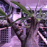 packypodium  gracilius《M size》※現地球株発根済み株‼︎  (限定1株)まだまだ葉を展開中のblack肌グラキ※mad black pot植え‼︎