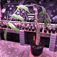 cyphostemma  bengal《L  size》※株元どっしり構えの希少種‼︎balanceも良き綺麗な樹形&柔らかな葉※mad black pot植え