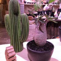 packypodium  gracilius《大きめS size》※現地球発根済み株‼︎  (限定1株)※全面A面なかわいいbalance良きグラキ※mad black bowl pot植え