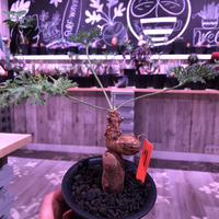 pelargonium  triste《M size》※激しく葉を展開し、冬型の人気者‼︎