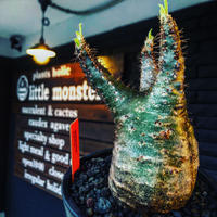 packypodium  gracilius《M  size》※現地球発根済株‼︎※短枝の為、丈も短くぼってり樹形な上、激希少‼︎グリーン肌な激レア株‼︎※mad black pot植え