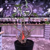 pelargonium   crithmifolium《S size》※塊根部分から芽吹き年々樹形がボコボコと変化していく楽しみな冬型‼︎ ※mad black pot植え