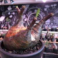 packypodium  gracilius《L size》※現地球発根済株※大変、美術的インテリア性も高く、両A面で現地焼けの一味プラスのオススメ株‼︎※mad black bowl pot植え