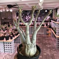packypodium    gracilius《M size》発根済み株
