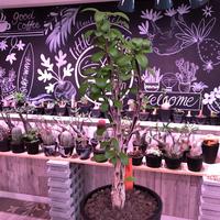 fouquieria  diguetii《L   size》※大変希少サイズの上、枝振りbalance &何より幹のコンストラストが最高株‼︎※mad black pot植え