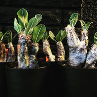 packypodium   enigmaticum《S  size》インスタ掲載株‼︎発根済み株‼︎ 4color variation