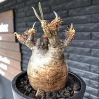 packypodium  gracilius《小さめM size》希少二頭枝株※現地球発根後店主国内管理2年株※ツル肌ぼってり樹形のかわいい一株※mad black pot植え