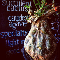 momordica  rostrata《L  size》※株元は充分に木質化したbalance&良きサイズ感なロストラータ希少株‼︎※mad black pot植え