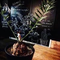 encephalartos   horridus《L size》球体美株‼︎