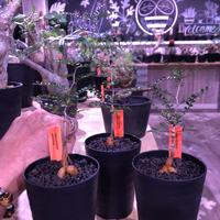 opercullicarya   packypus  littmon  seed🌱 《2年半株》balance良く装い良き一株‼︎ ※(限定3株)