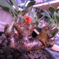 othonna   euphorbioides《大きめS size》※大変balance良き綺麗めオイデス‼︎オススメ株!※mad black pot植え